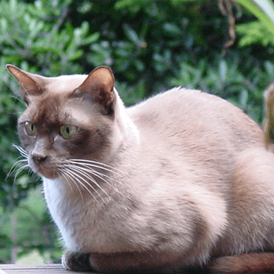 photo Burmese Anglais Chats