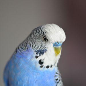 Perruche ondul e oiseaux anipassion for Oiseau domestique interieur