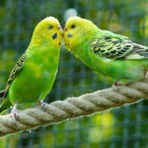 photo Perruche ondulée Oiseaux