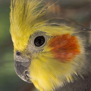 photo calopsitte Oiseaux