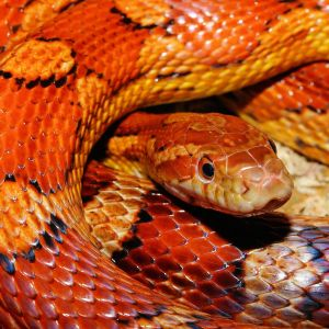 photo Pantherophis guttatus Reptiles