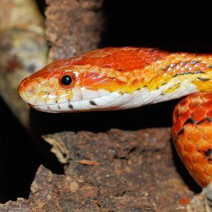 photo Pantherophis guttatus Reptiles