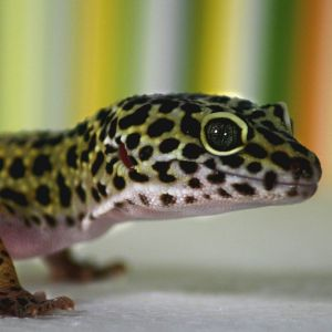 photo gecko leopard Reptiles