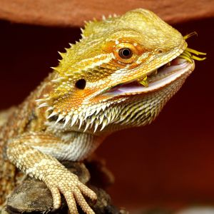 photo Pogona Reptiles