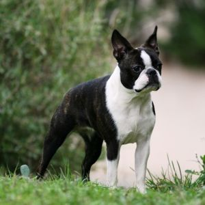 photo Terrier de boston Chiens