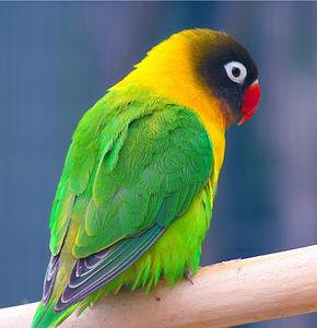 photo Agapornis Personata Oiseaux