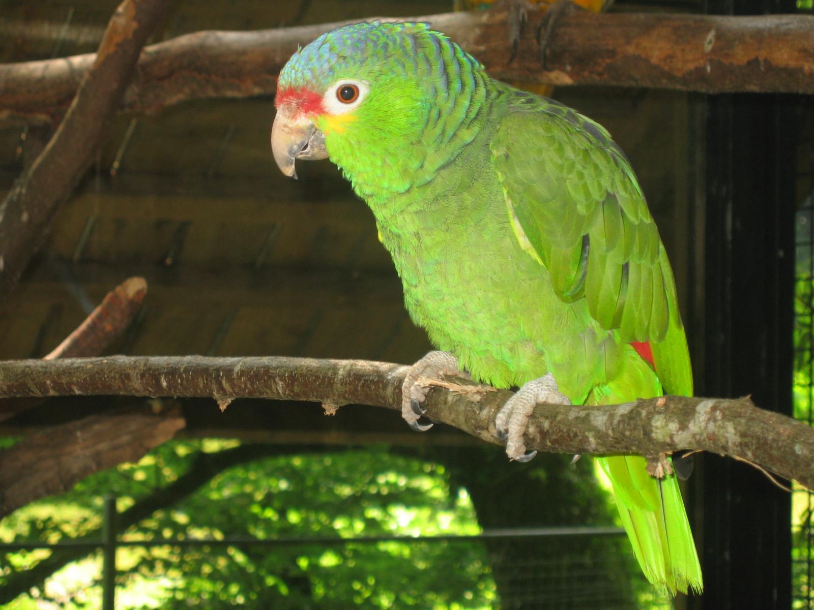 photo Amazone à front blanc Oiseaux