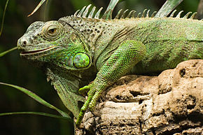 photo Iguane Reptiles