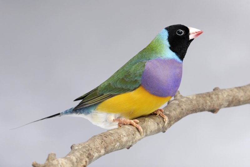 photo Diamant de Gould Oiseaux