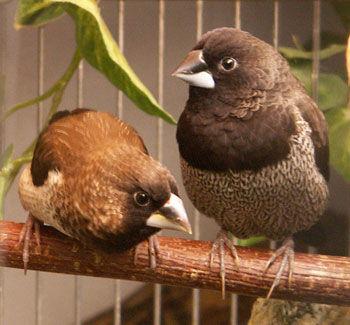 photo Moineau du japon Oiseaux