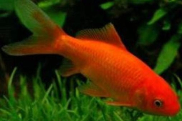 Poisson rouge poissons anipassion for Alimentation poisson rouge adulte