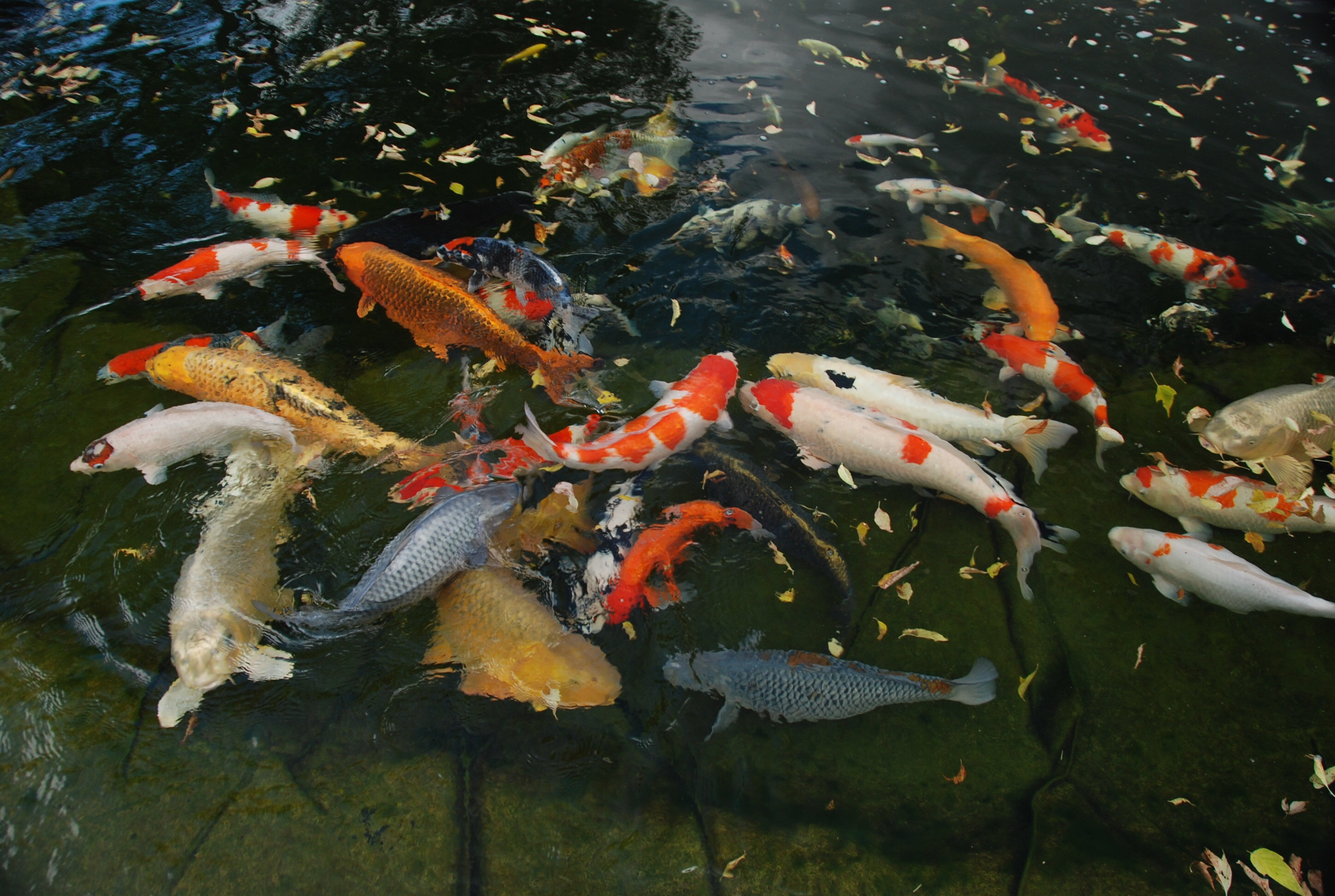 Carpe ko poissons anipassion for Poisson koi aquarium
