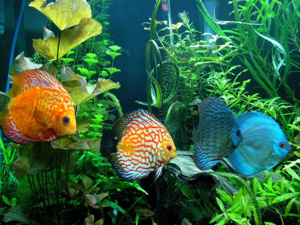 photo Discus Poissons
