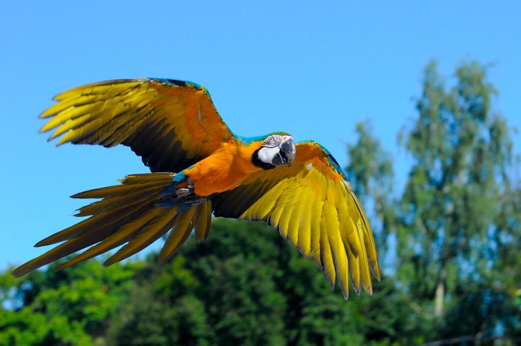 photo Ara Jaune et Bleu Oiseaux