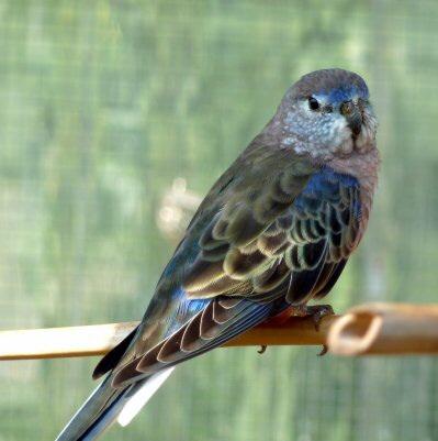 photo Perruche de Bourke Oiseaux
