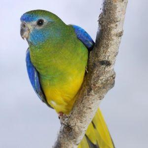 photo Perruche Turquoisine Oiseaux
