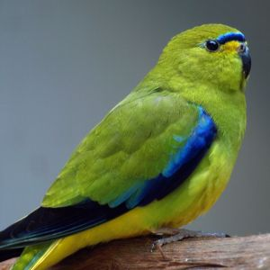 photo Perruche Elégante Oiseaux