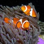 photo Poisson clown Poissons