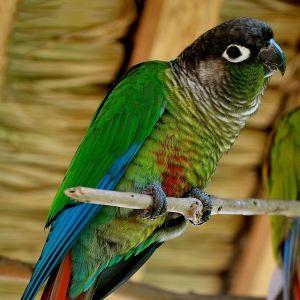 photo Conure Pyrrhuras Molinae Oiseaux