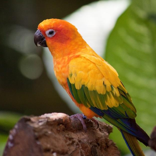 Conure soleil oiseaux anipassion for Oiseau domestique interieur