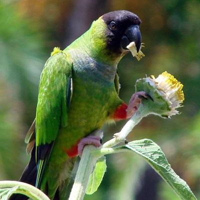 photo Conure Nanday Oiseaux