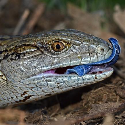 photo Scinque à langue bleue Reptiles