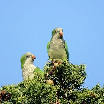 photo Conure Souris Oiseaux