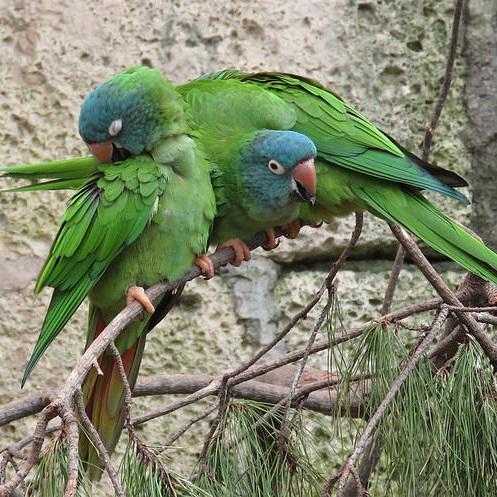 photo Conure à tête bleue Oiseaux