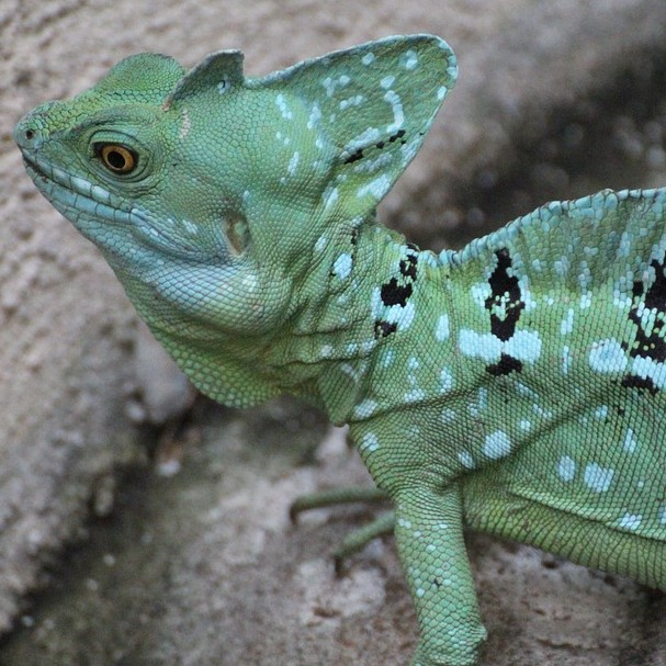 photo Basilic Vert Reptiles