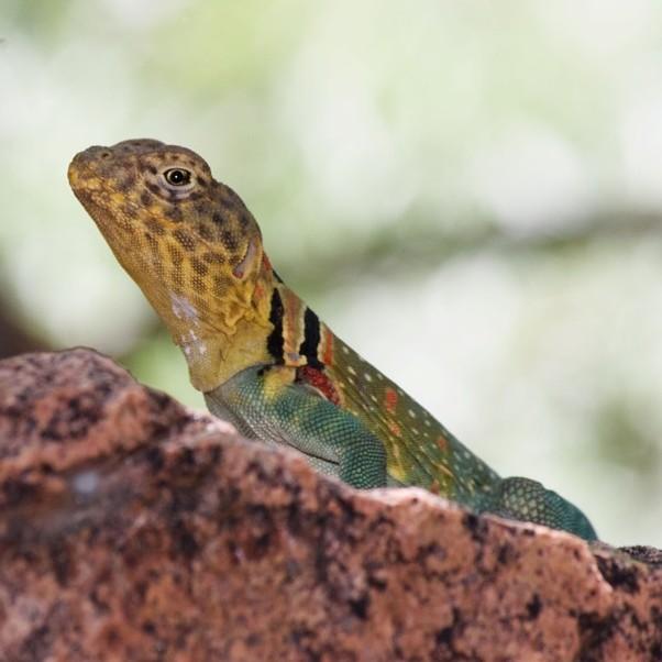 photo Lézard à collier Reptiles