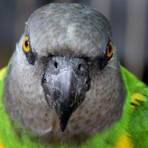 photo Youyou du Sénégal Oiseaux