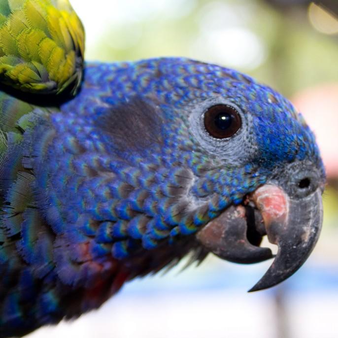 photo Pione à tête bleue Oiseaux