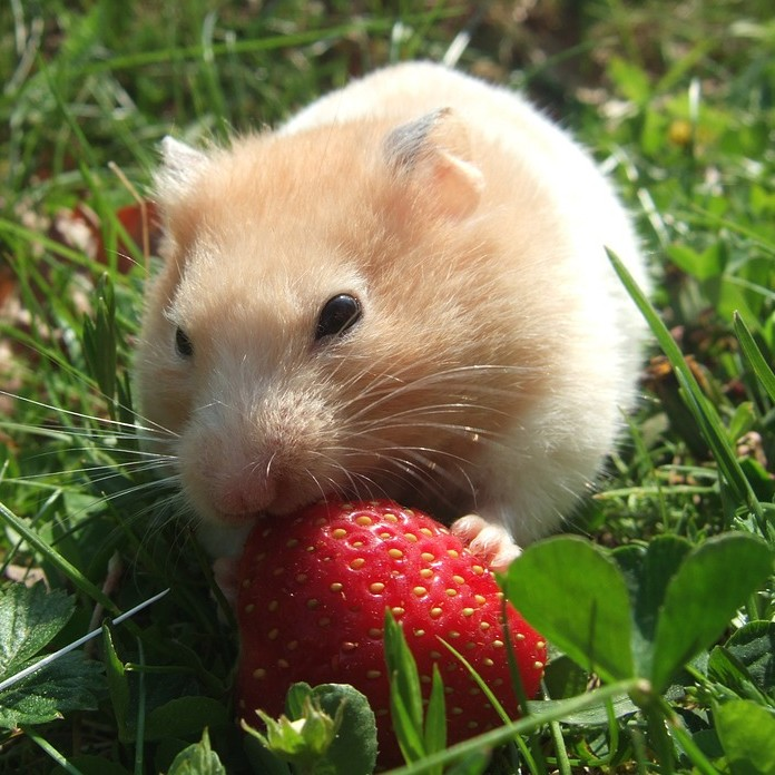 photo Hamster Syrien Rongeurs