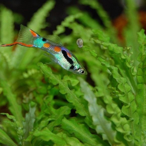 photo Guppy Poissons