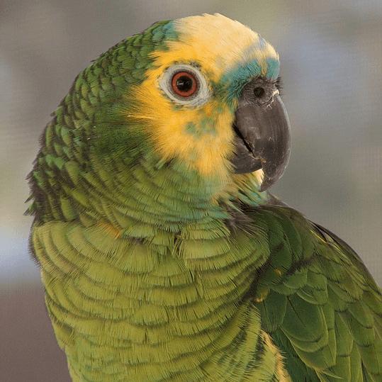 photo Amazone à front bleu Oiseaux