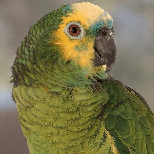 photo Amazone à front jaune Oiseaux