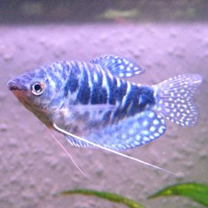 photo Gourami bleu Poissons