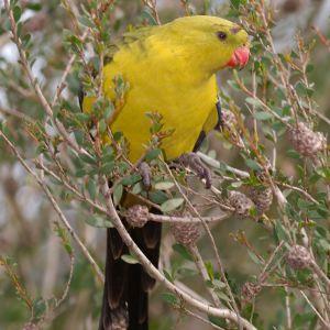 photo Perruche mélanure Oiseaux