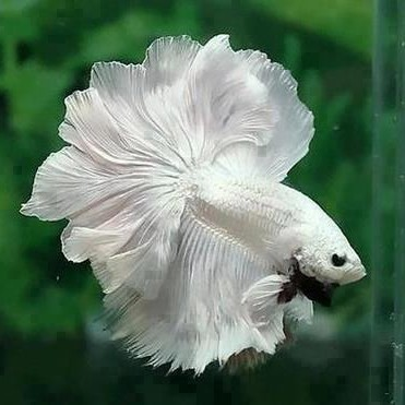 photo Betta Splendens, Combattant Poissons