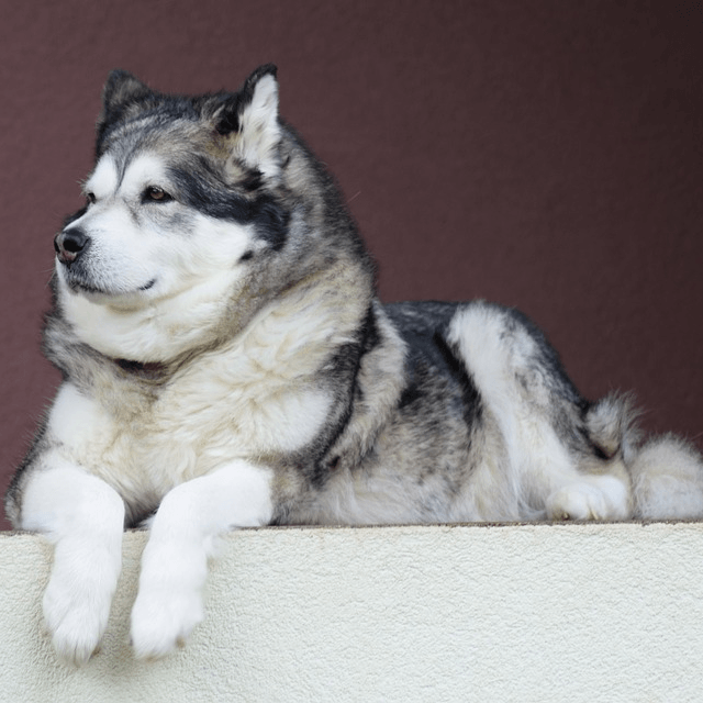 photo Malamute d'Alaska Chiens