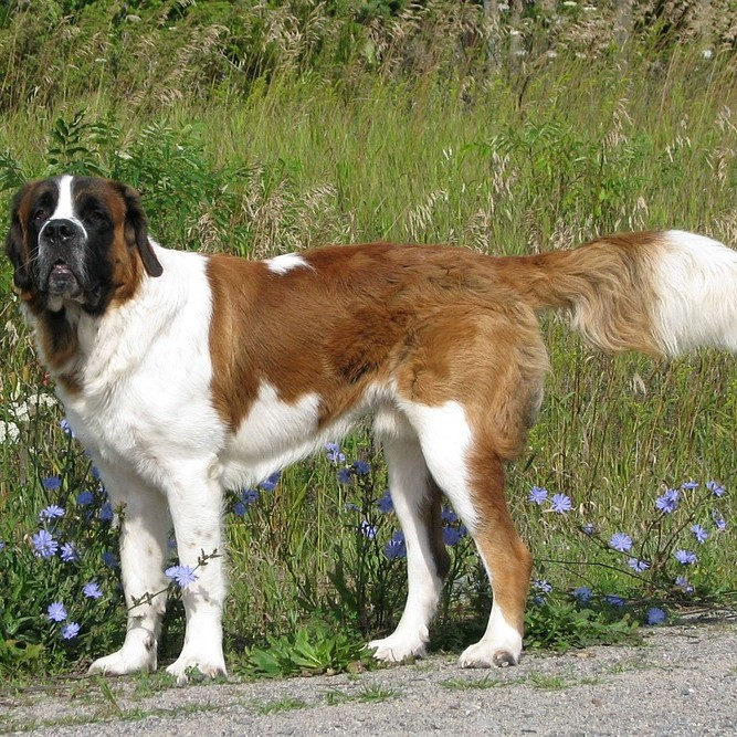 photo Saint-Bernard Chiens