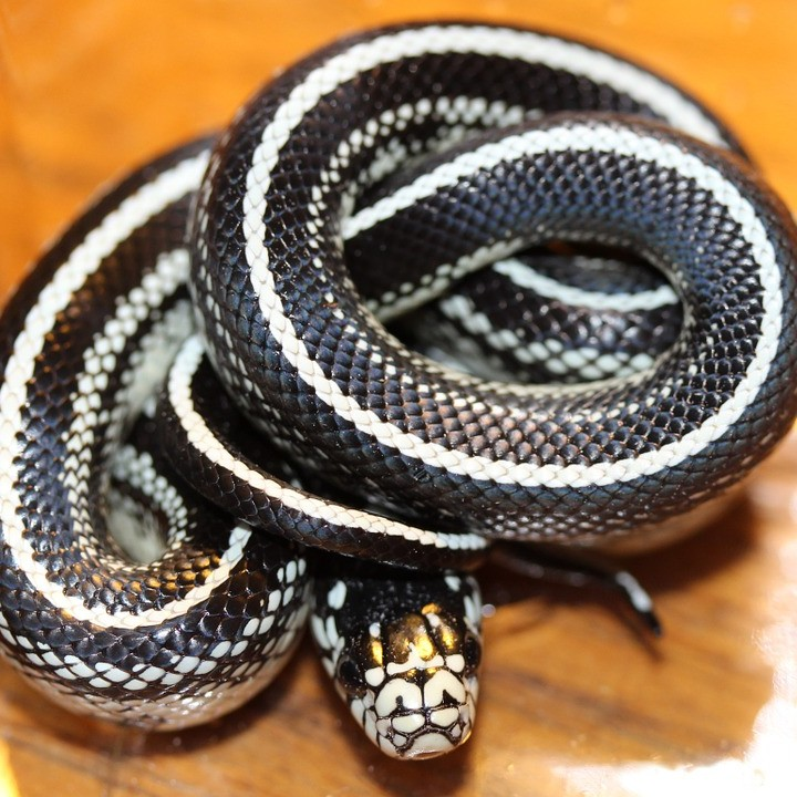 photo Lampropeltis Getulus Reptiles