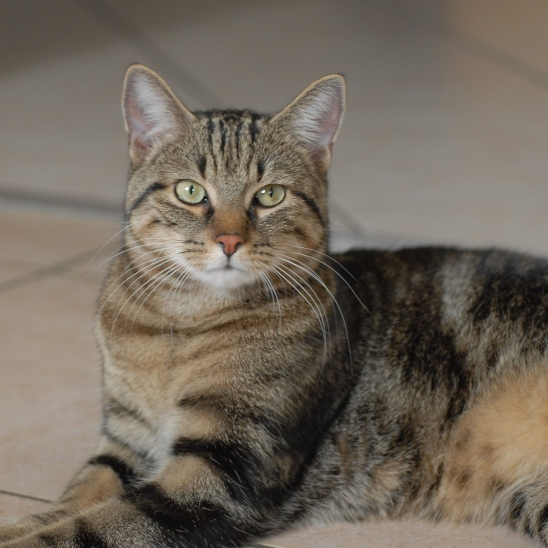 photo American Shorthair Chats