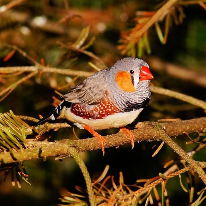 photo Diamant Mandarin Oiseaux