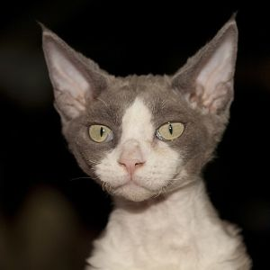 photo Devon Rex Chats