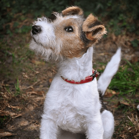 photo Fox terrier Chiens