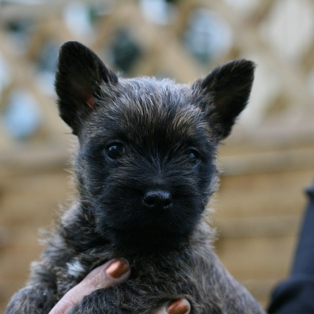 photo Cairn terrier Chiens