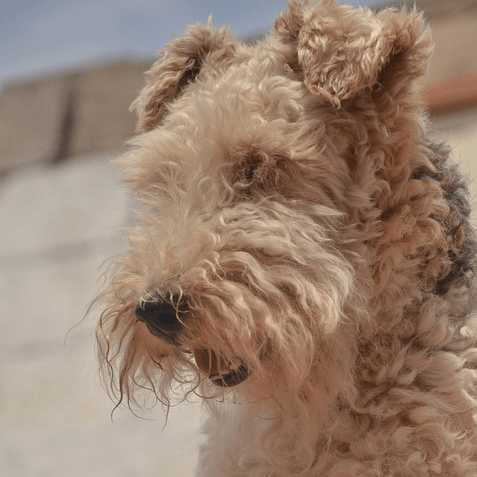 photo Airedale Terrier Chiens