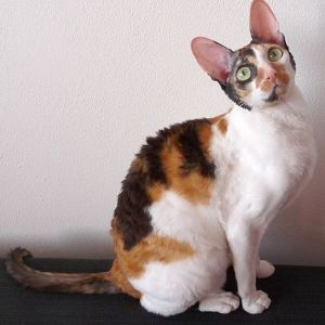 photo Cornish rex Chats