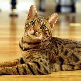 photo Ocicat Chats